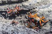 A Sally Lightfoot Crabs (Grapsus grapsus) in the Galapagos Islands — Stock Photo