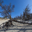 pines on baikal lake — Stock Photo