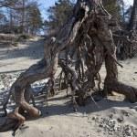 Pines on Baikal lake — Stock Photo