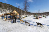 Sled dogs in Russian Siberia — Stock Photo