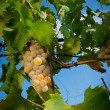 Stock Photo: Grapes on vine