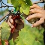 Grape harvesting — Stock Photo