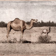 Stock Photo: Camels - retro -Old Postcard style