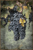 Grapes on the Vine in vintage style — Stock Photo