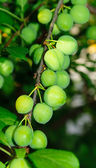 Unripe plum — Stock Photo
