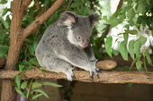 Koala — Zdjęcie stockowe