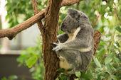 Koala — Fotografia Stock