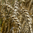 Wheat Fields — Stock Photo