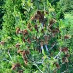 galhos de árvore do abeto verde com cones amarelos contra o céu azul — Foto Stock