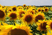 Many large and bright sunflowers on the field. Large yellow peta — Stock Photo