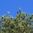 Fir branches with cones on a background of blue sky in a bright  — 图库照片