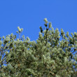 Fir branches with cones on a background of blue sky in a bright  — Stock fotografie