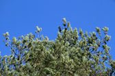 Fir branches with cones on a background of blue sky in a bright — Stock Photo