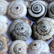 Earthy brown snail in the shell photographed close. — Stock Photo