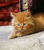Little red kitten looking to the side — Stock Photo