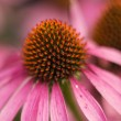 Purple Cone Flower (Echinacea) — Stock Photo