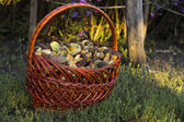 Basket with edible mushrooms — Stock Photo