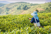 Gathering of tea of a grade of Puer — Stock Photo