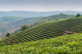 Plantations of tea — Stock Photo