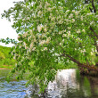 Apple-tree over water — Stock Photo