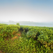 Morning at the tea plantation — Stock Photo