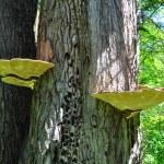 Постер, плакат: Wood mushroom