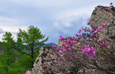 Rhododendrons of Sikhote-Alin mountains — Stock Photo