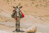 Burro — Stock Photo