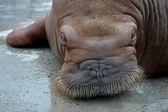 Walrus — Stock Photo