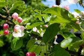 Floración de los árboles frutales. — Foto de Stock