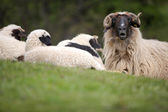 Sheep resting — Stock Photo