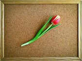 Red tulip in a frame — Stock Photo