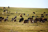 Lotes de vacas — Foto Stock