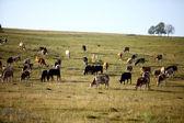 Viele kühe — Stockfoto
