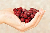Hand holding haws — Stock Photo