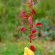 Hanging pear with red leafs — Stockfoto