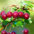 Stock Photo: Mature hawthorn's cluster