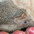 Hedgehog smells onion — Stockfoto