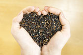Bella riso gelsomino nero — Foto Stock