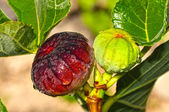 Green and Purple Figs — Stock Photo
