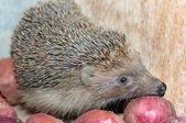 Hedgehog smells onion — Stock Photo