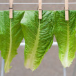 Pinned lettuce leaves — Foto Stock