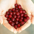 Red haws in hands — Foto de Stock