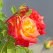 Stock Photo: Red-yellow rose with buds