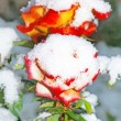 Stock Photo: Roses in winter