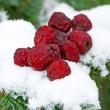 Dry haw on snow — Stock Photo
