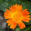Stock Photo: Orange aster