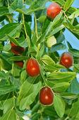 En el árbol de la azufaifa — Foto de Stock