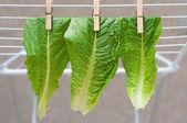Fäst salladsbladピン留めされたレタスを葉します。 — Stockfoto