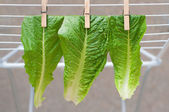 Pinned lettuce leaves — Stock Photo